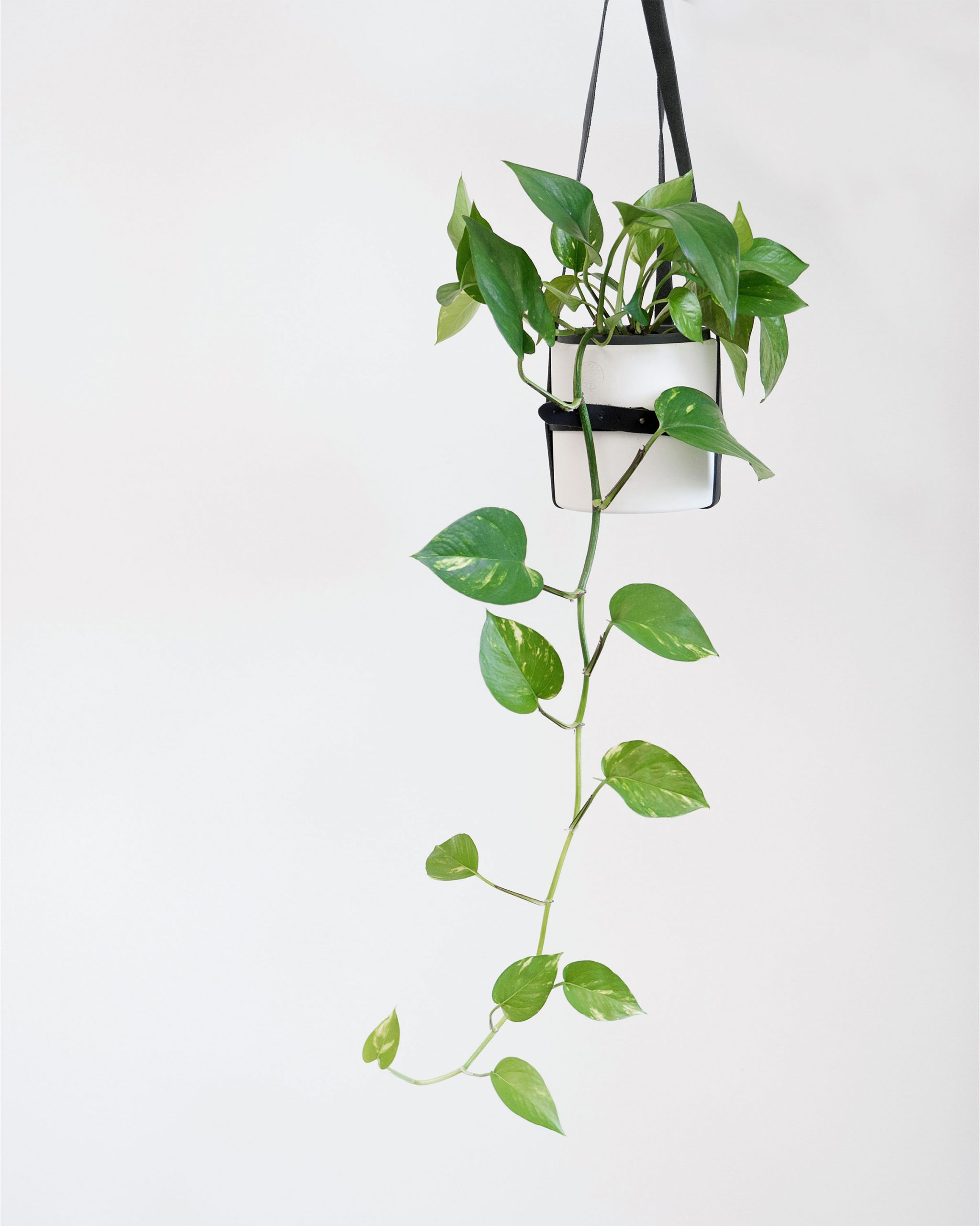 Guide To Indoor Plants - Epipremnum Aureum - Devil's Ivy